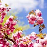 Cherry_Blossom_Tree_1200x800